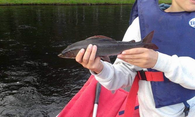 Fiske på Österdalälven, en harr är fångad